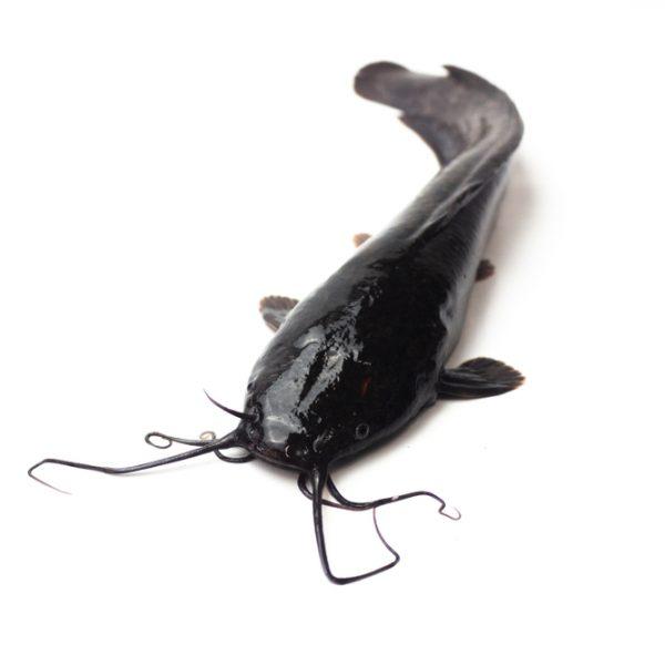 Photo showing catfish