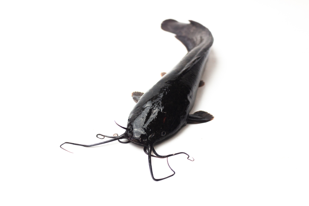 Photo showing catfish