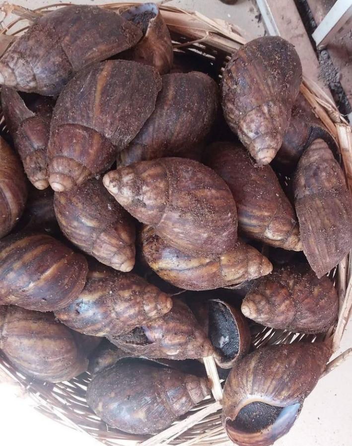 Snails(5 Medium Pieces)